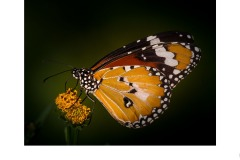 Butterfly LNP - Annette Donald (Commended - Open A Grade - 10 Sep 2020 PDI)