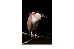 Nankin Night Heron - mark devaraj (Highly Commended - Open A Grade - 11 Feb 2021 PRNT)