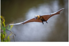 Bats at Yarra Bend - Graeme Diggle (Commended - Open A Grade - 11 Jun 2020 PDI)