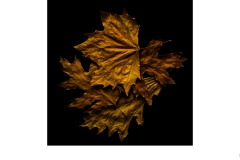 Autumn leaves - Alan Donald (Commended - Set Subj A Grade - 13 Aug 2020 PDI)