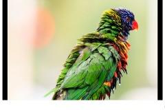 Bird Colours - Antonio Cobucci (Commended - Set Subj B Grade - 14 May 2020 PDI)