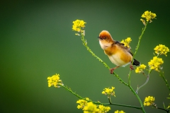 Nature.Awarded.Highly-Commended.Paul-Dodd.Golden-headed-Cisticola.S0769.U0289.I0697