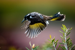 Nature.Awarded.Highly-Commended.Paul-Dodd.New-Holland-Honeyeater-in-Flight.S0969.U0289.I0699
