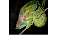 O'Shaughnessy's Chameleon - Annette Donald (Commended - Open A Grade - Feb 2019 PDI)