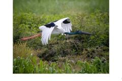 Jabiru in flight  - Kyffin Lewis (Commended - Open A Grade - 22 Apr 2021 PDI)