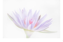 Water Lily - Paul Dodd (Commended - Set Subj A Grade - 23 Feb 2020 PDI)