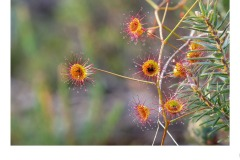 Climbing Sundew - Paul Wright (Commended - Set Subj B Grade - 23 Jul 2020 PDI)
