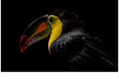 Toucan - Annette Donald (Commended - Set Subj A Grade - 24 Sep 2020 PDI)