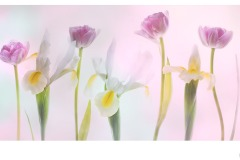 White Iris and Tulips - Lesley Bretherton (Best - Open A Grade - 24 Sep 2020 PDI)
