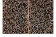 Leaf Skeleton - Ruth Woodrow (Commended - Set Subj A Grade - 25 Feb 2021 PDI)