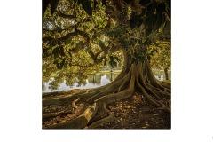 Morton Bay Fig - Susan Rocco (Commended - Open A Grade - 25 Feb 2021 PDI)