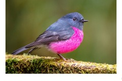 Pink Robin - Ruth Woodrow (Commended - Open A Grade - 25 Feb 2021 PDI)