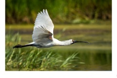 Spoonbill at Werribee - Graeme Diggle (Commended - Open A Grade - 25 Feb 2021 PDI)