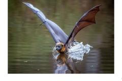 bat in river - Kyffin Lewis (Best - Open A Grade - 25 Feb 2021 PDI)