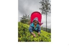Tea Plucker Nuwara Eliya - lesley bretherton (Highly Commended - Set Subj A Grade - Feb 2020 PDI)
