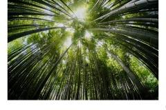 Bamboo! - Matt Smith (Commended - Set Subj A Grade - 27 May 2021 PDI)