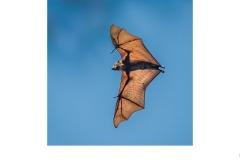 Bat at Yarra Bend - Graeme Diggle (Commended - Set Subj A Grade - 27 May 2021 PDI)