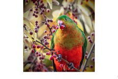 King Parrot - Susan Rocco (Highly Commended - Open A Grade - 27 May 2021 PDI)
