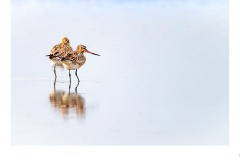 Bar-tailed Godwits - Paul Dodd (Highly Commended - Set Subj A Grade - 28 May 2020 PDI)