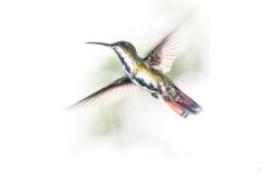 Rainbow tailed hummingbird - Annette Donald (Highly Commended - Open A Grade - 9 Apr 2020 PDI)
