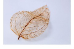 Leaf Skeleton - Ruth Woodrow (Commended - Set Subj A Grade - 9 Apr 2020 PDI)