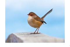 FemaleWren - John Parkinson (Highly Commended - Set Subj A Grade - 09 Jul 2020 PDI)