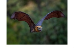 flying fox  - Kyffin Lewis (Commended - Open A Grade - 09 Jul 2020 PDI)