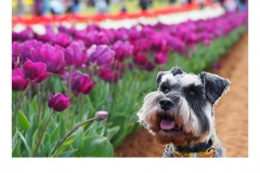 Flower Schnauzer - Kitty Chan (Commended - Open B Grade - Apr 2019 PDI)