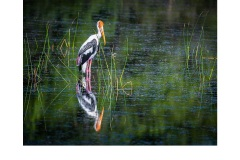 Painted Stork - Lesley Bretherton (Commended - Open A Grade - Apr 2019 PDI)