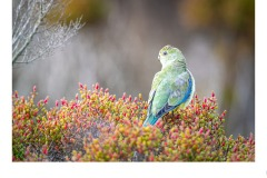 Blue-winged Parrot - Paul Dodd (Commended - Open B Grade - Aug 2019 PDI)