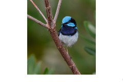 blue wren posing - Kyffin Lewis (Highly Commended - Open B Grade - Aug 2019 PDI)
