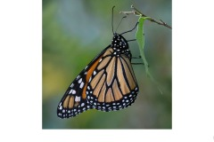 Monarch Butterfly - Nicole Andrews (Commended - Open A Grade - Aug 2019 PDI)