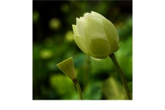 Lotus - Robert Fairweather (Commended - Set Subject 'F is for ...' - Aug 2019 PDI)
