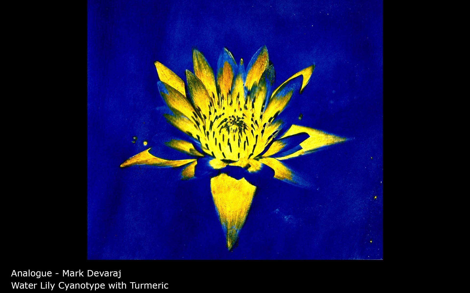 Water Lily Cyanotype with Turmeric - Mark Devaraj