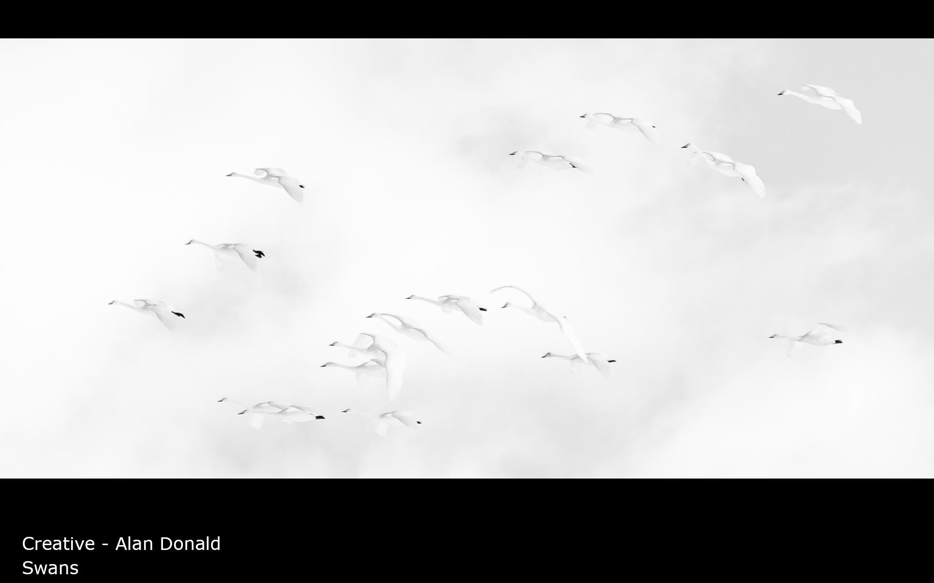 Swans - Alan Donald