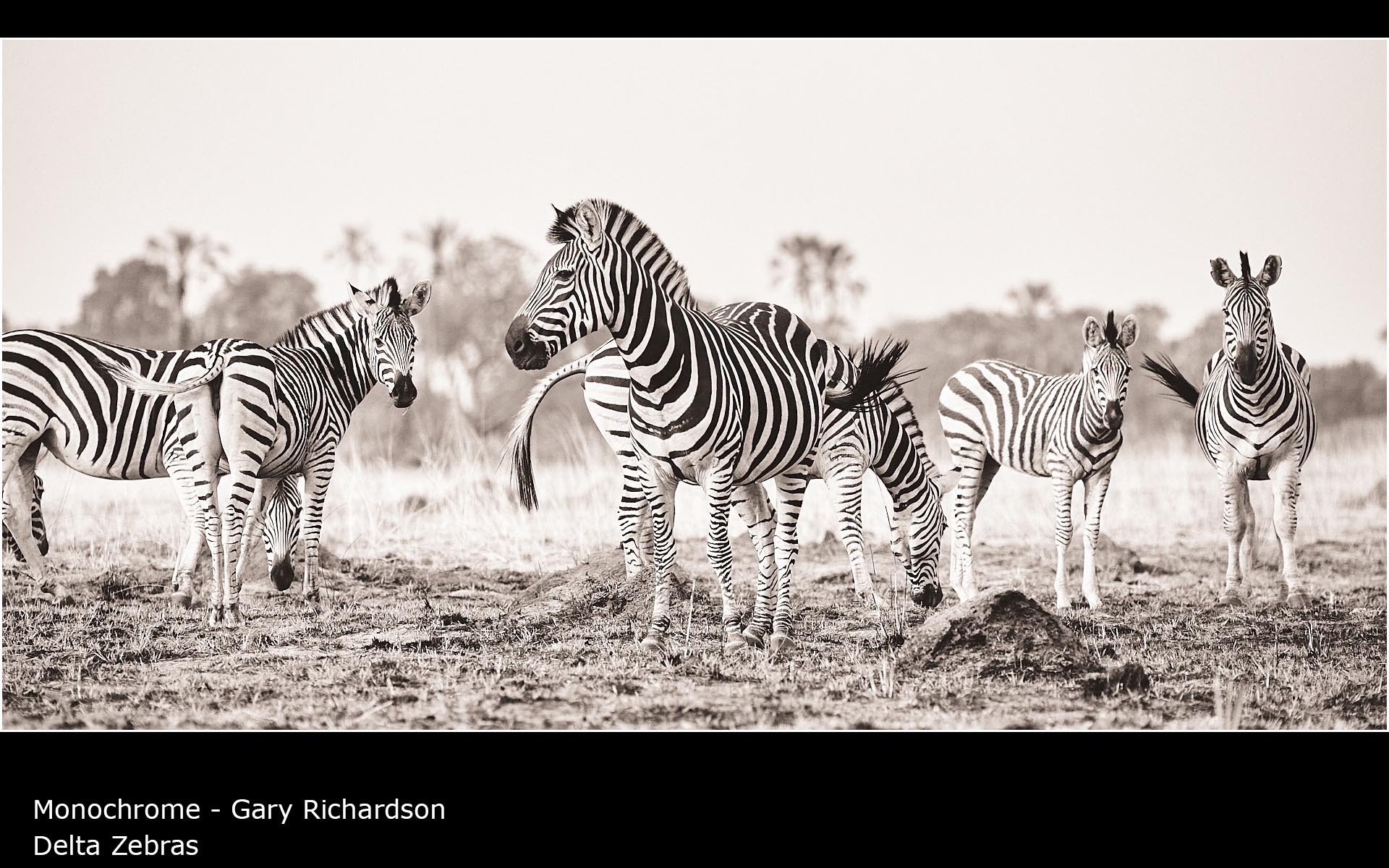 Delta Zebras - Gary Richardson