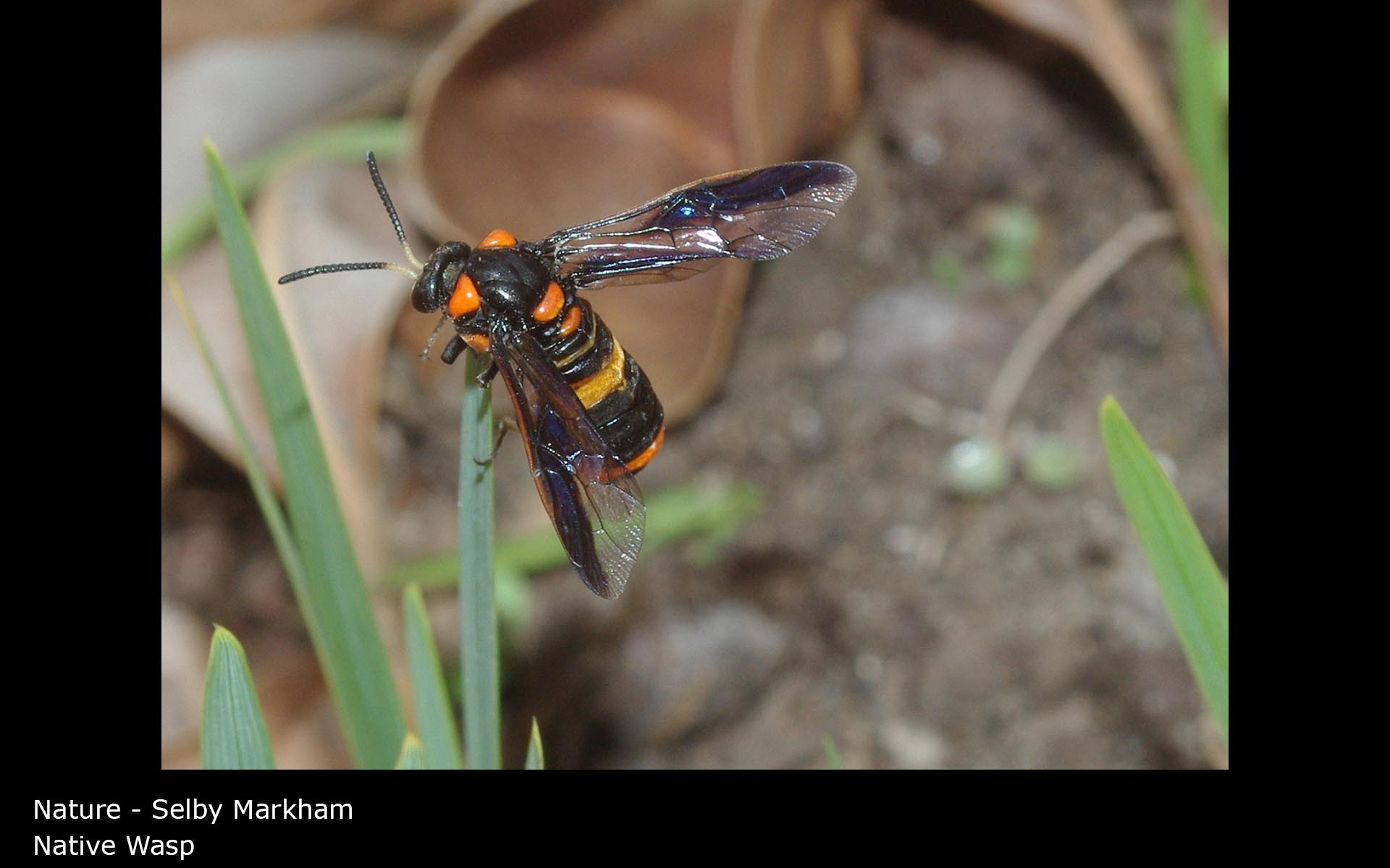 Native Wasp - Selby Markham