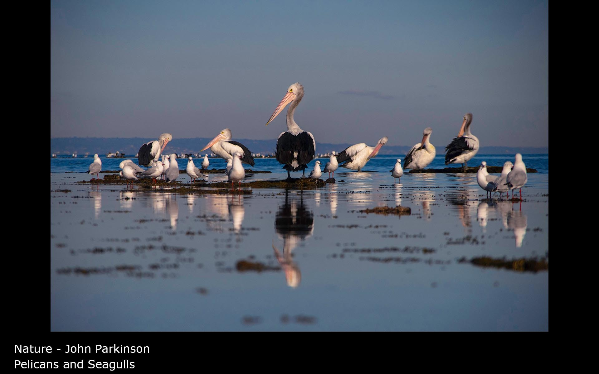 Pelicans and Seagulls - John Parkinson