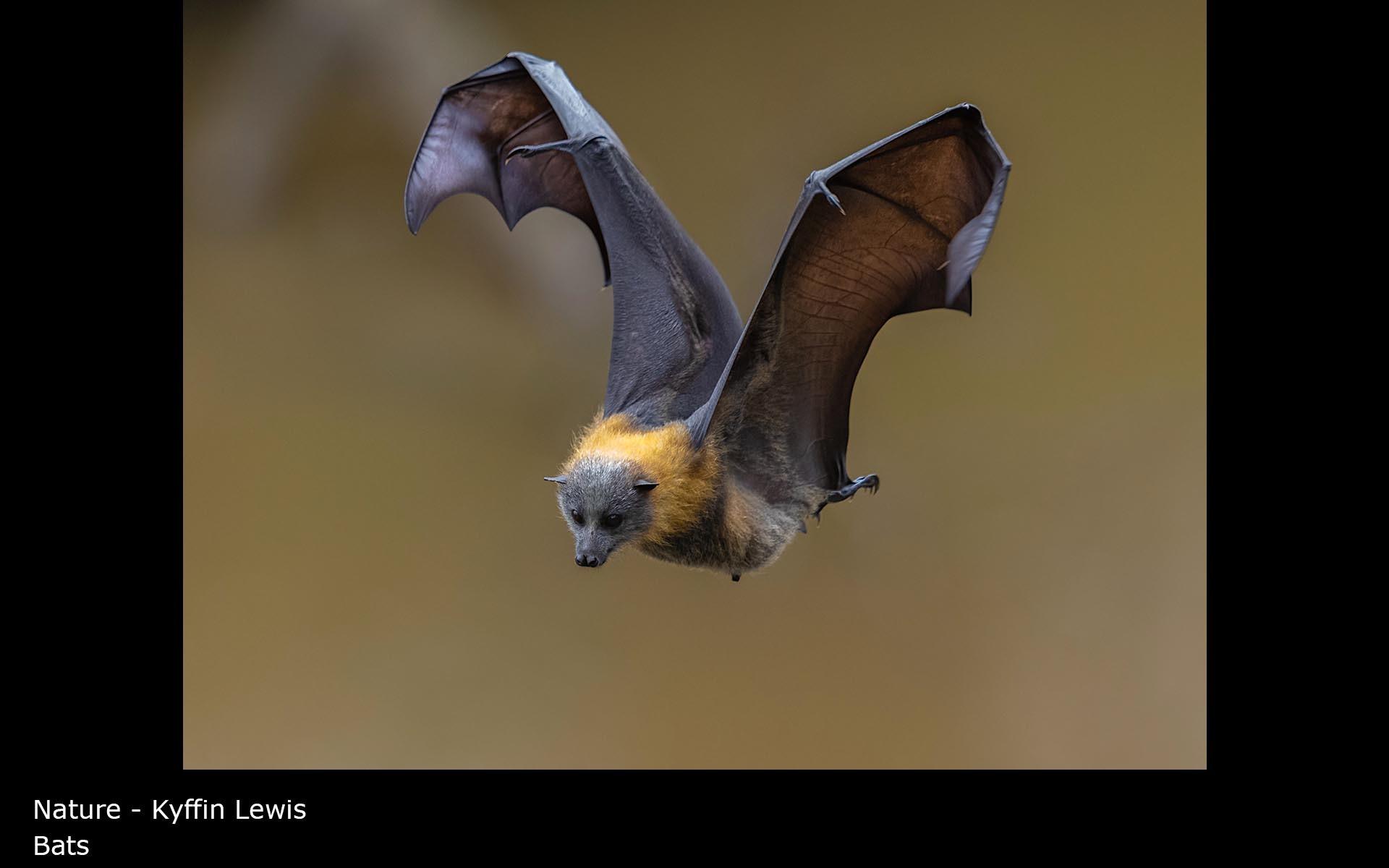Bats - Kyffin Lewis
