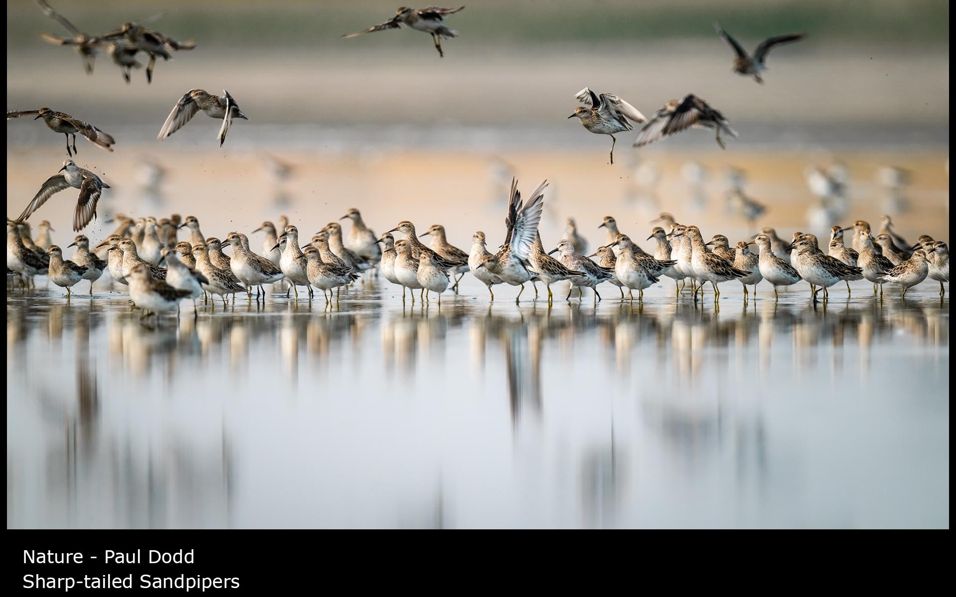 Sharp-tailed Sandpipers - Paul Dodd