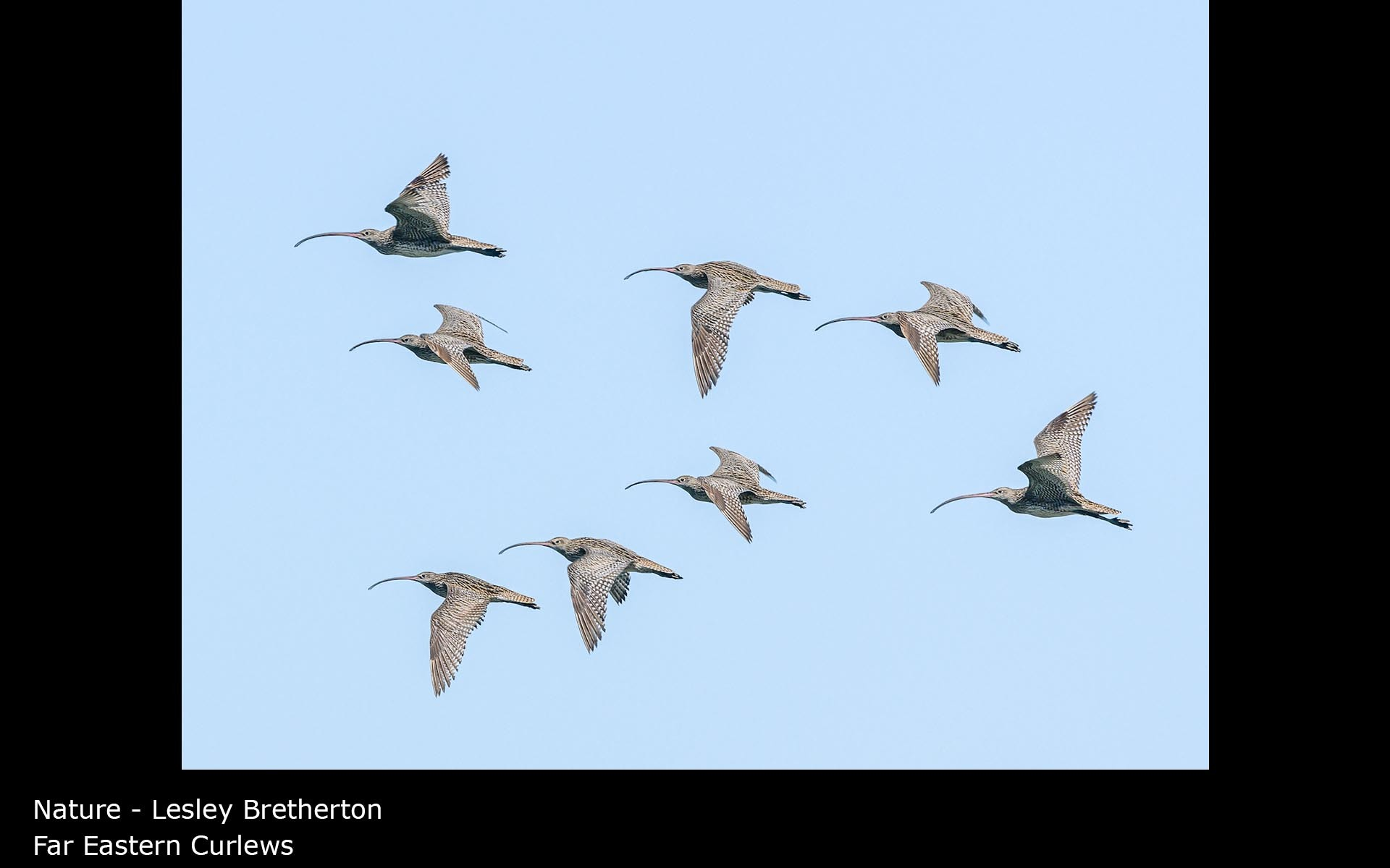 Far Eastern Curlews - Lesley Bretherton