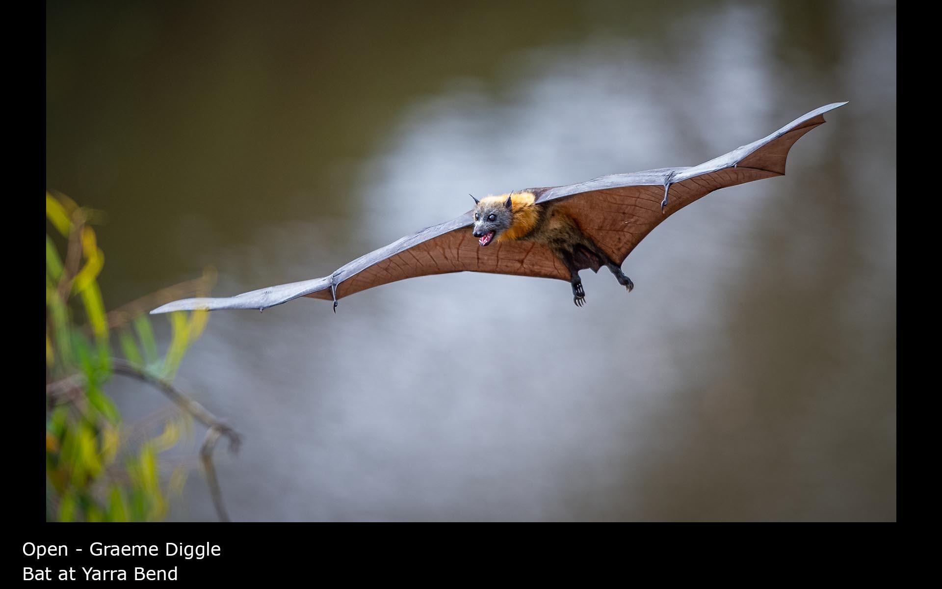 Bat at Yarra Bend - Graeme Diggle
