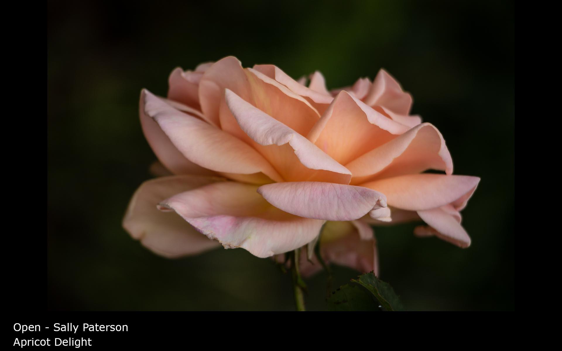 Apricot Delight - Sally Paterson