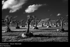 Olive Plantation - Oliver Altermatt