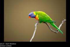Rainbow Lorikeet - Ruth Woodrow