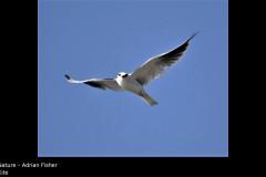 Kite - Adrian Fisher