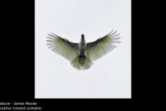 Sulphur-crested cockatoo. - James Mexias
