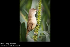 Reed Warbler with Damsel Fly - Marg Huxtable