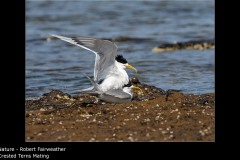 Crested Terns Mating - Robert Fairweather