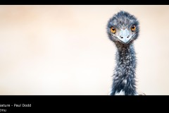 Emu - Paul Dodd